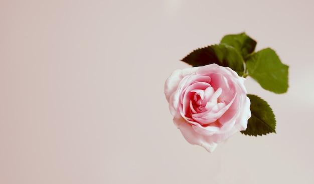 Flor color de rosa del té rosado apacible contra el fondo de la vainilla. plantilla de vista superior.