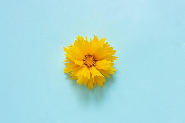 Una flor de coreopsis amarilla sobre fondo azul estilo minimalista