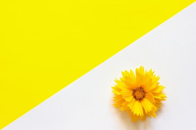 Una flor coreopsis amarilla sobre fondo de papel blanco y amarillo estilo minimalista espacio de copia
