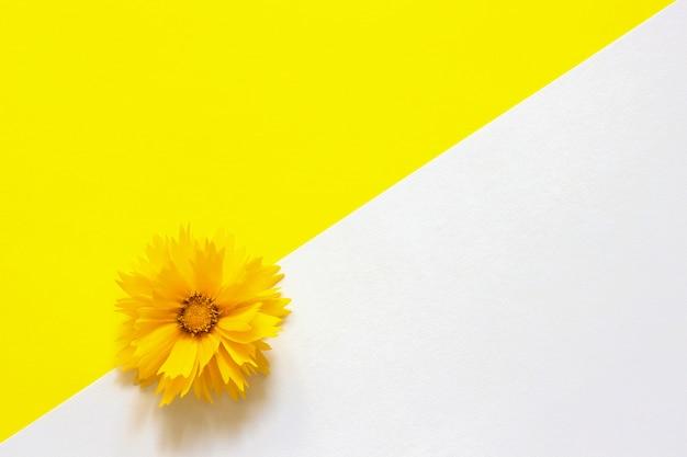 Una flor de coreopsis amarilla sobre fondo de papel blanco y amarillo