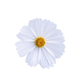 Flor del cosmos aislado sobre fondo blanco con trazado de recorte