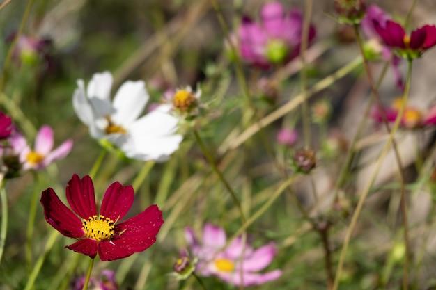 Una flor del cosmos cara al amanecer en el campo.