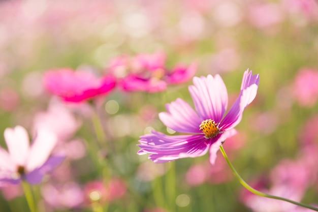 Flor del cosmos de cerca al atardecer