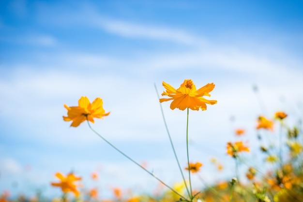Flor del cosmos y cielo azul