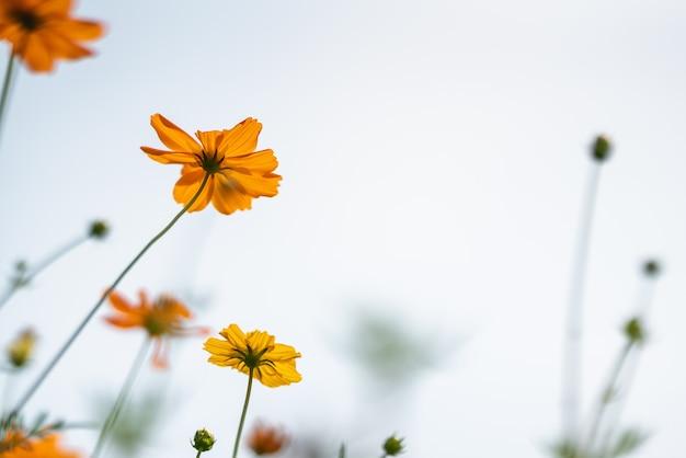 Flor de cosmos naranja y amarilla con cielo blanco como fondo.