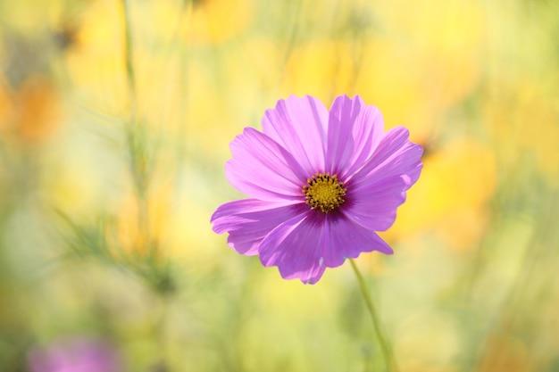 Flor del cosmos en primer plano en la mesa de la naturaleza