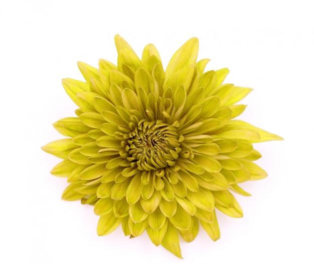 Una flor de crisantemo amarilla aislada sobre blanco
