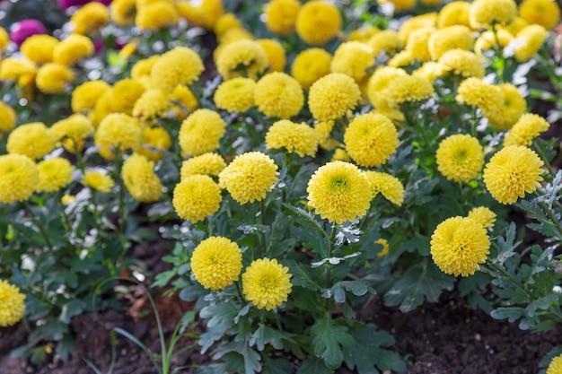 Flor de crisantemo amarillo hermosa en la temporada de primavera del jardín.