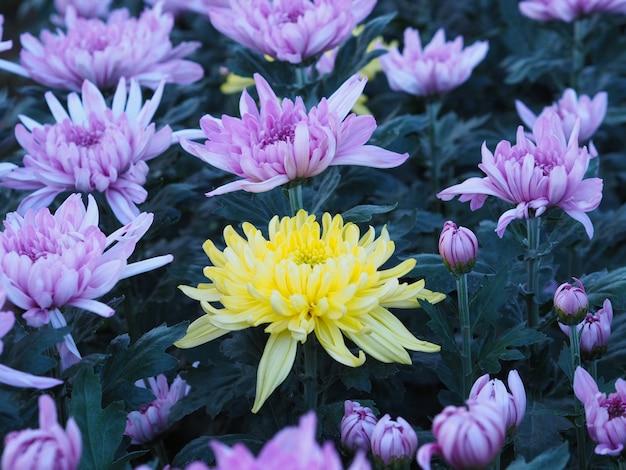Una flor de crisantemo amarillo entre otros colores violetas en un invernadero