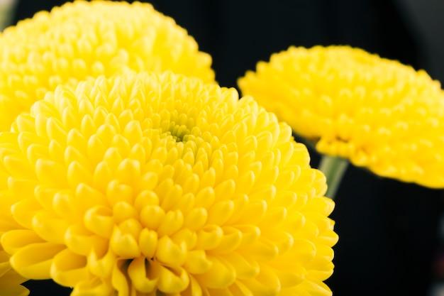 Flor de crisantemo amarillo sobre fondo negro