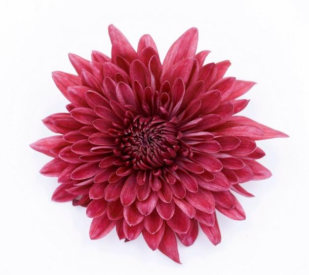Flor de crisantemo rojo