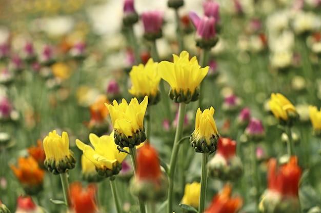 Flor de crisantemo en tropical