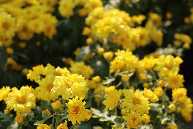 Flor de crisantemo en venta