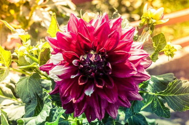 Flor de dalia púrpura en día soleado