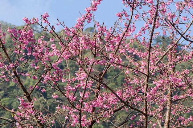 De Flores En La Montana: Fondo Rosa De Flor De Cerezo