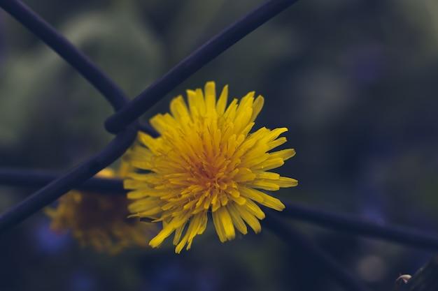 Flor de diente de león borrosa sobre red de hierro