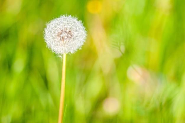 Flor de diente de león en el jardín en un día soleado