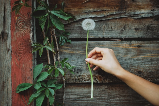 Flor de diente de león en mano femenina, pared de madera con hojas de uva de niña. hermosa mano de niña con flor de blowball sobre fondo rústico con plantas. exuberante diente de león en primer plano del brazo de mujer