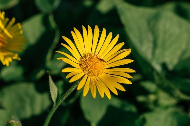 La flor del doronikum de cerca. vuela en el centro de la flor.