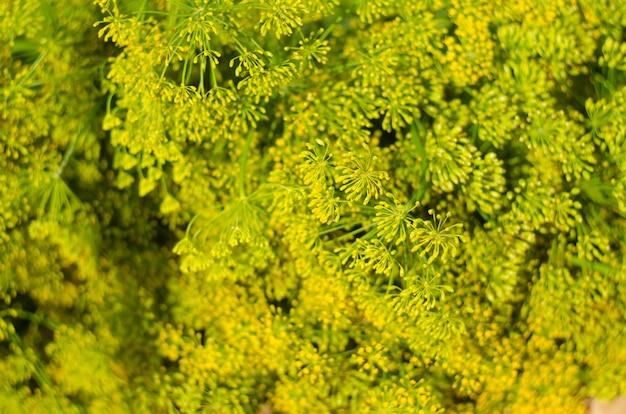 Flor de eneldo enfoque selectivo suave, desenfoque. cerca de hinojo fragante eneldo, cabeza de eneldo maduro.