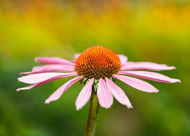 Flor de equinácea sobre un fondo de color abstracto