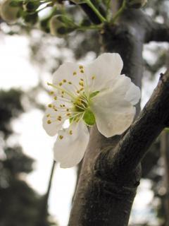 Flor de la flor del ciruelo, cerezo