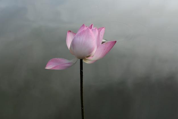 Flor flor de loto en un estanque