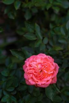 Flor floreciente rosa rosa sobre un fondo de hojas verdes