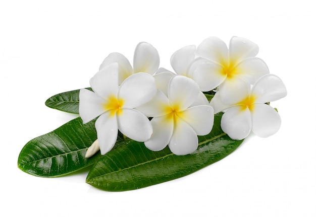 Flor de frangipani aislado fondo blanco.