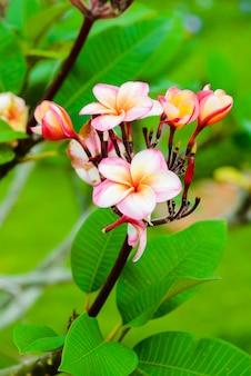 Flor de frangipani en el arbol