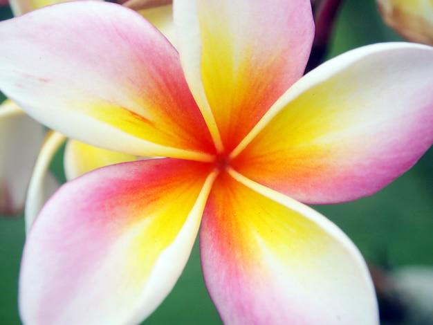 Flor de frangipani de cerca