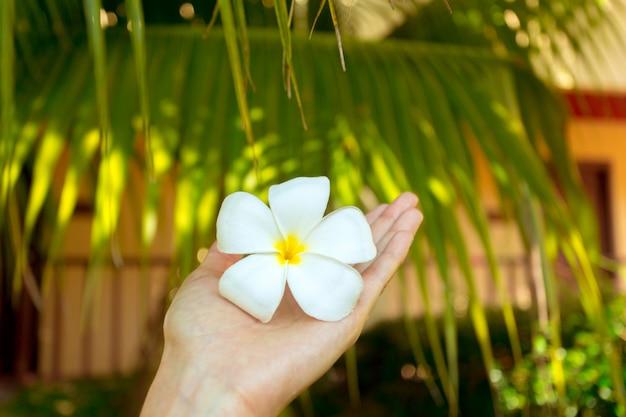 Flor de frangipani en mano de mujer