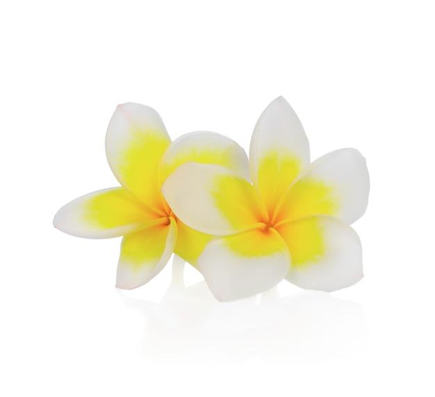 Flor de frangipani o plumeria aislado sobre fondo blanco.