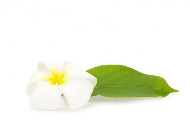 Flor de frangipani. plumeria. aislado sobre fondo blanco