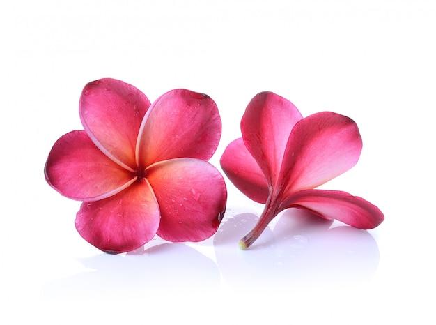 Flor de frangipani rojo aislado sobre fondo blanco.