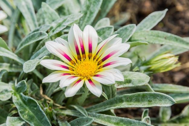 Flor de gazania de tigre de color blanco pálido y violeta.