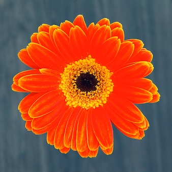 Flor de gerber aislado sobre fondo marrón