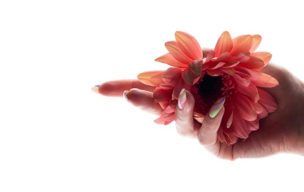Flor de gerbera en mano femenina