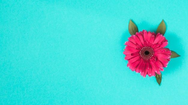 Flor de gerbera en mesa azul