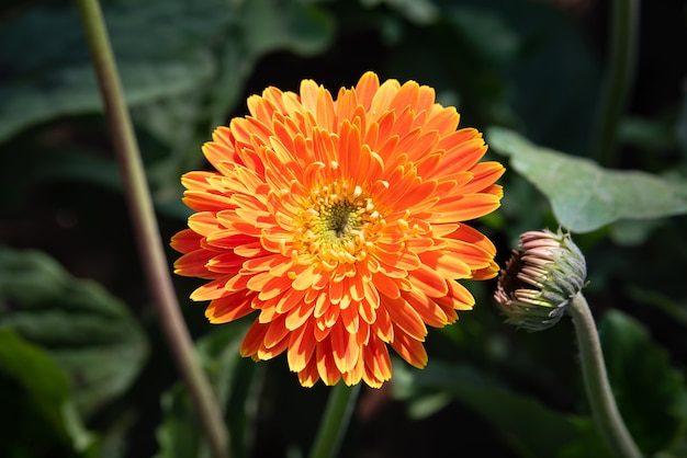 Flor de gerbera naranja que florece con la luz del sol en el jardín