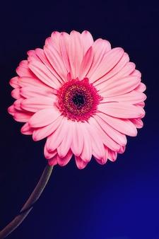 Flor de gerbera rosa sobre fondo negro con reflejos de color