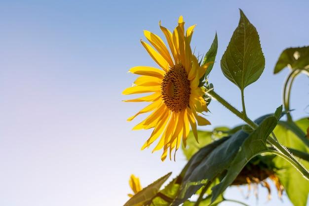 Flor de girasoles en un campo con cielo azul