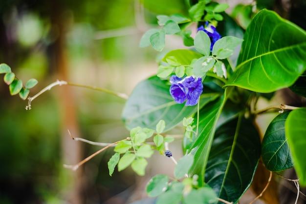 Flor de guisante de mariposa o guisante azul, bluebellvine, cordofan pea, clitoria ternatea en árbol