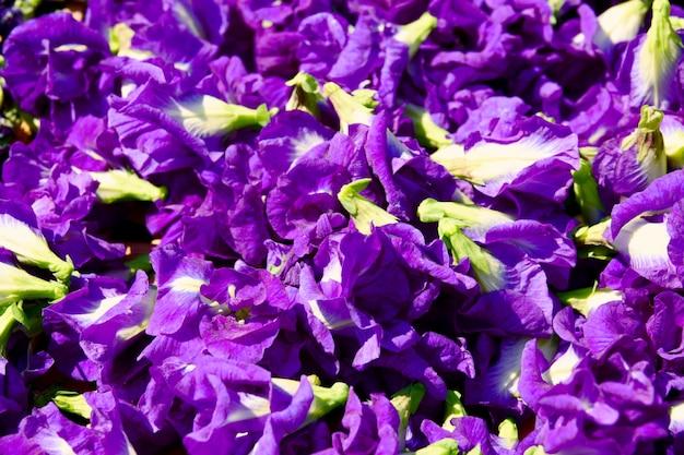 La flor del guisante de mariposa se seca en la canasta para mezclarse con agua caliente para beber