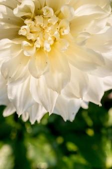 La flor hermosa de la dalia y el agua caen en garden.chrysanthemum como imagen de fondo. símbolo de elegancia, dignidad y buen gusto. flores blancas florecientes. copia espacio