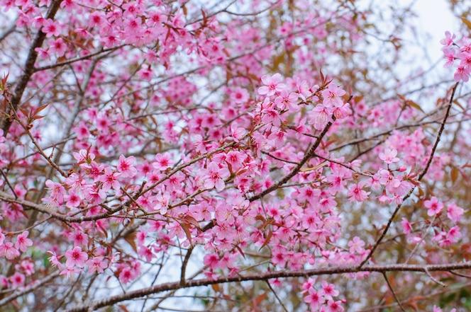 Flor hermosa de la flor de cerezo rosada (sakura) en la plena floración