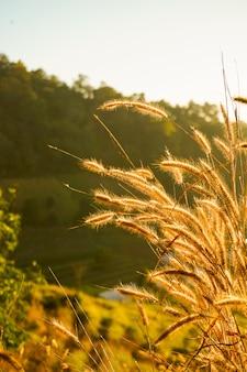 Flor hermosa de la hierba (poaceae) con el fondo borroso de la salida del sol en verano