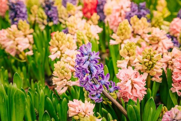 Flor hermosa de hyacinthus colorido en el jardín