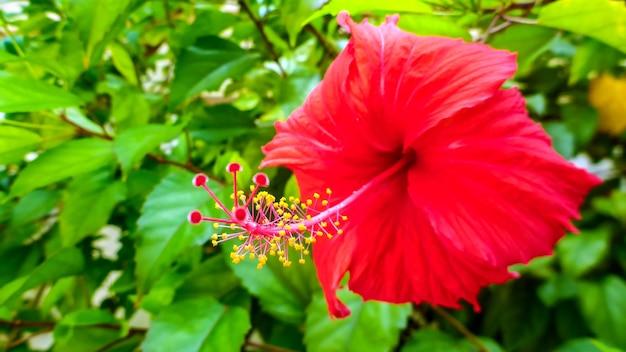 Flor de hibisco rojo brillante en las maldivas.