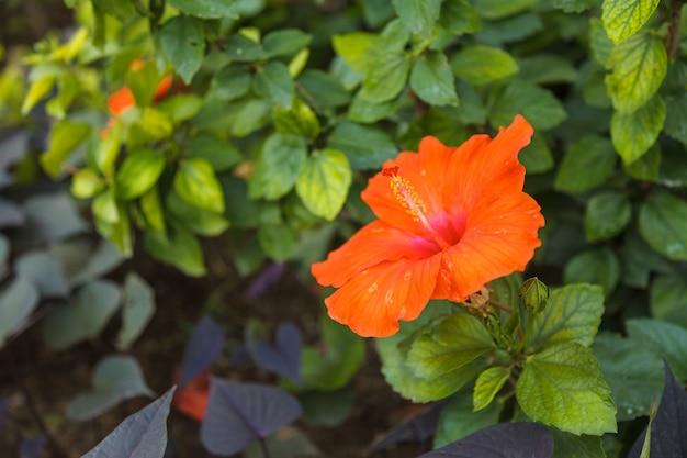 Flor de hibisco rojo en jardín tropical
